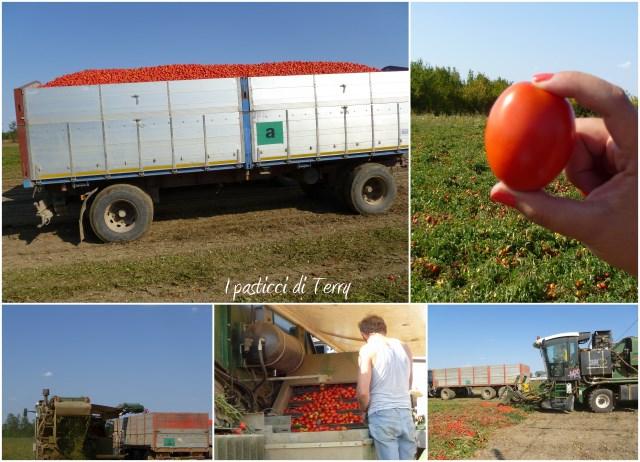 Raccolta dei pomodori Piacenza