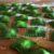 Ravioli verdi con mascarpone e noci